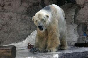 Arturo oso polar-2
