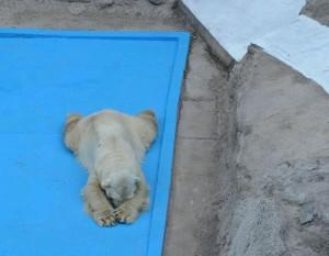 Arturo oso polar